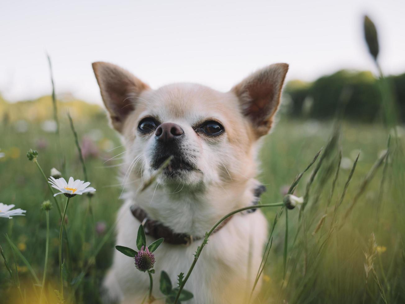 chihuahua bianco e marrone foto