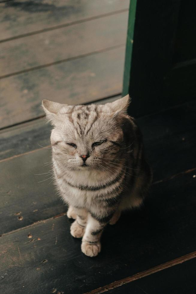 gatto grigio sul pavimento di legno foto