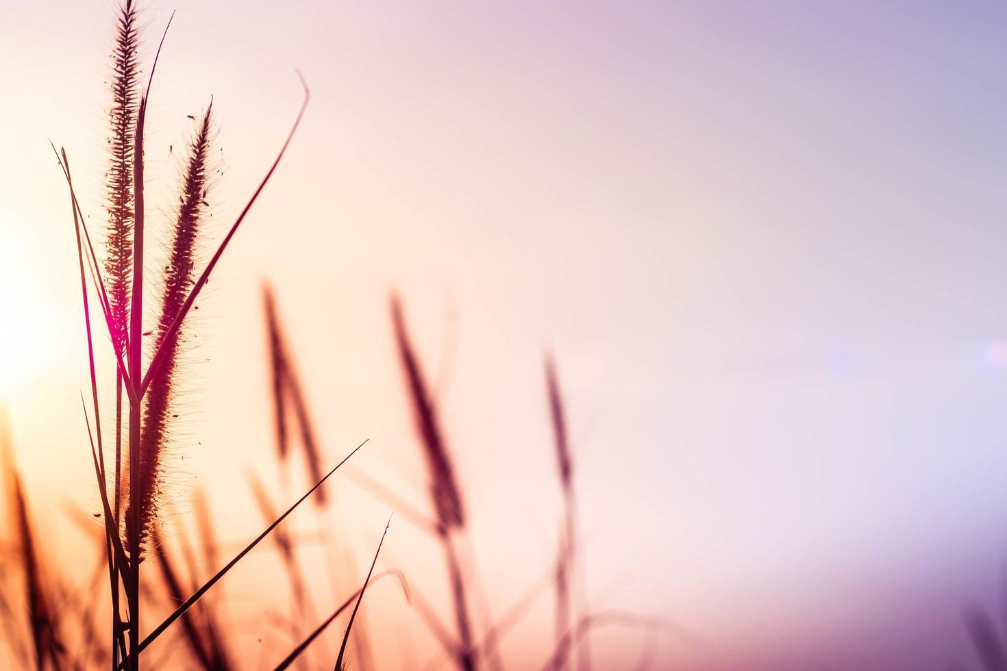 erba selvatica al tramonto foto