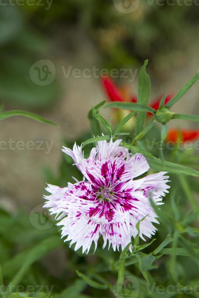 fiore di garofano foto