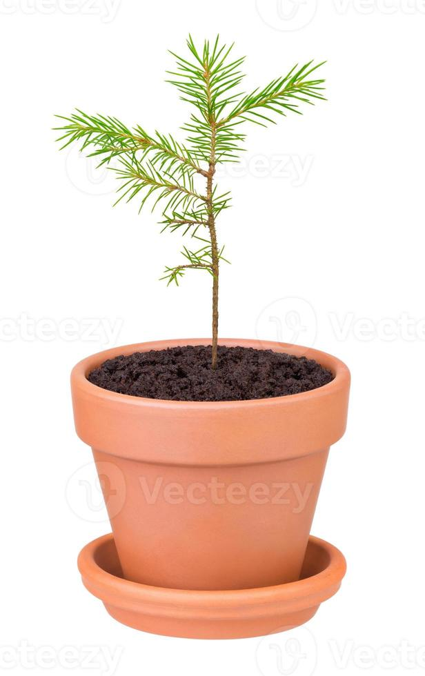 germoglio di pino che cresce in un vaso di fiori su sfondo bianco foto