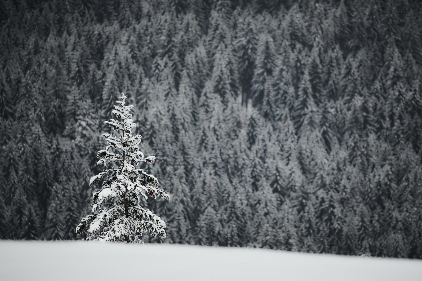 albero di pino verde coperto di neve foto