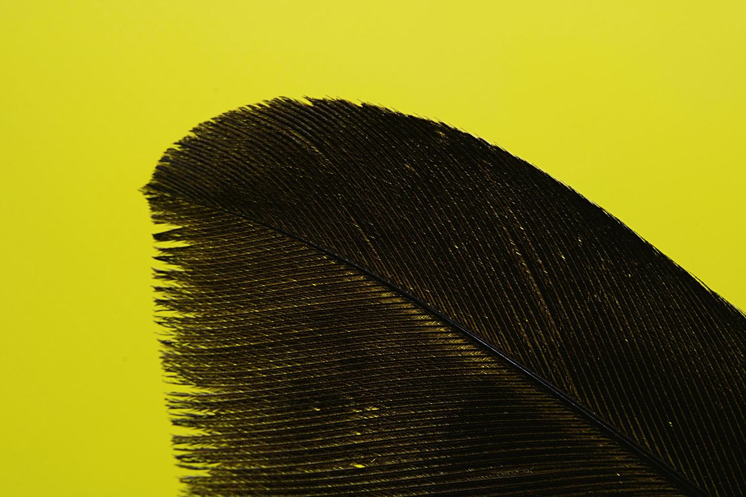 piuma nera su sfondo giallo foto
