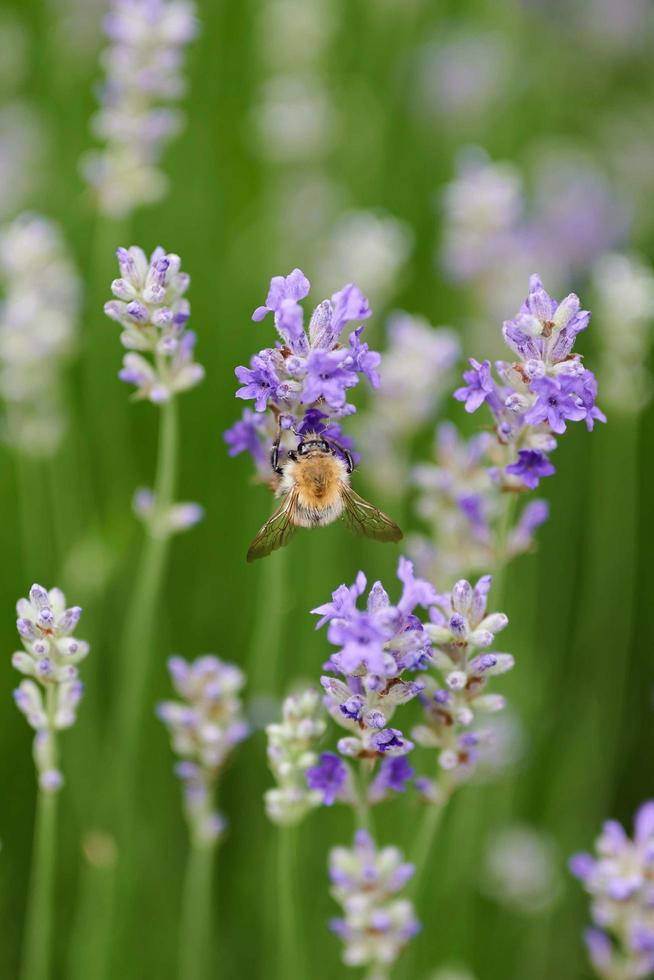 fiori viola in macro foto