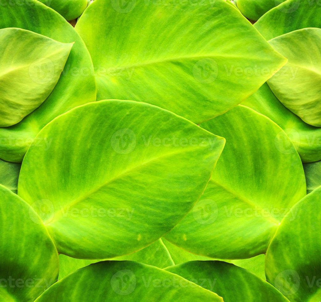 edera verde foto