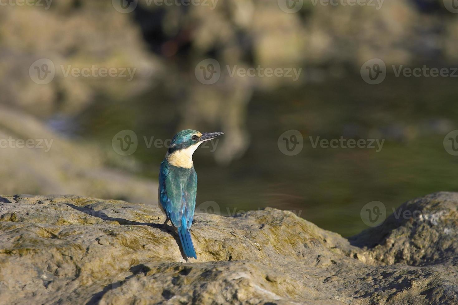 martin pescatore di fronte al lago foto