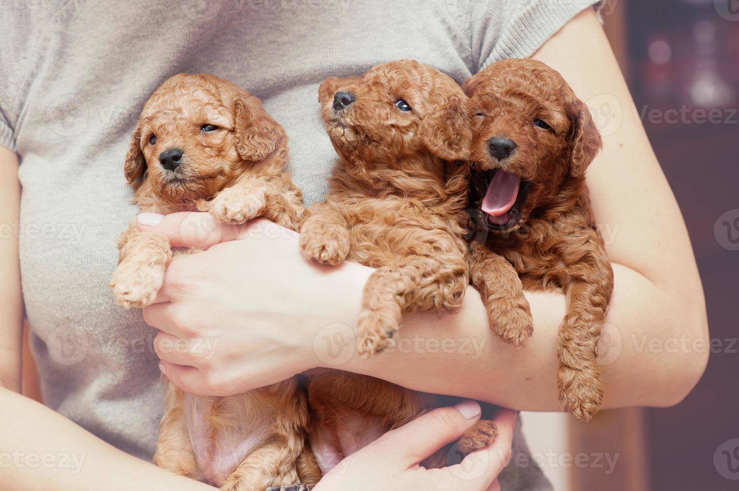 cuccioli di barboncino toy foto