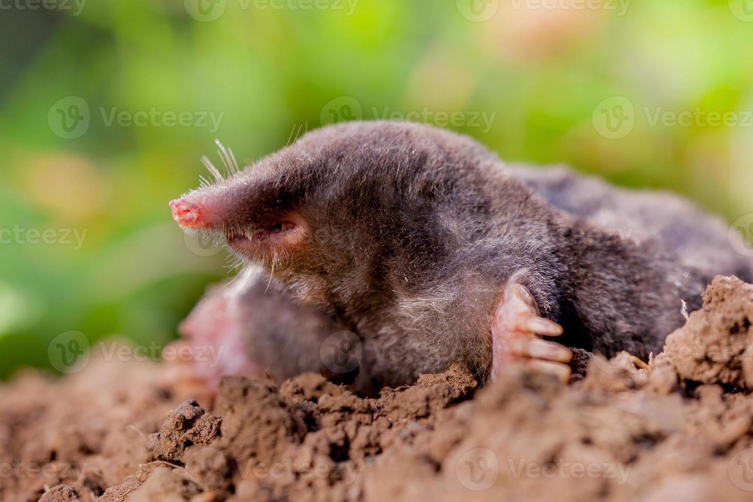 mole (talpa europaea) in ambiente naturale foto