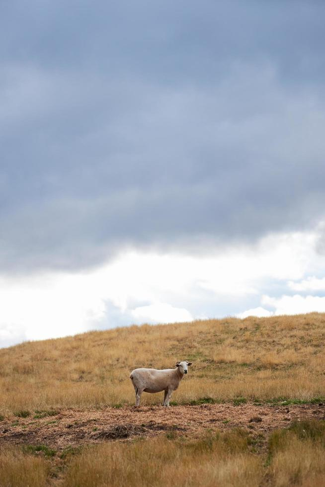 pecore sul campo di erba marrone foto