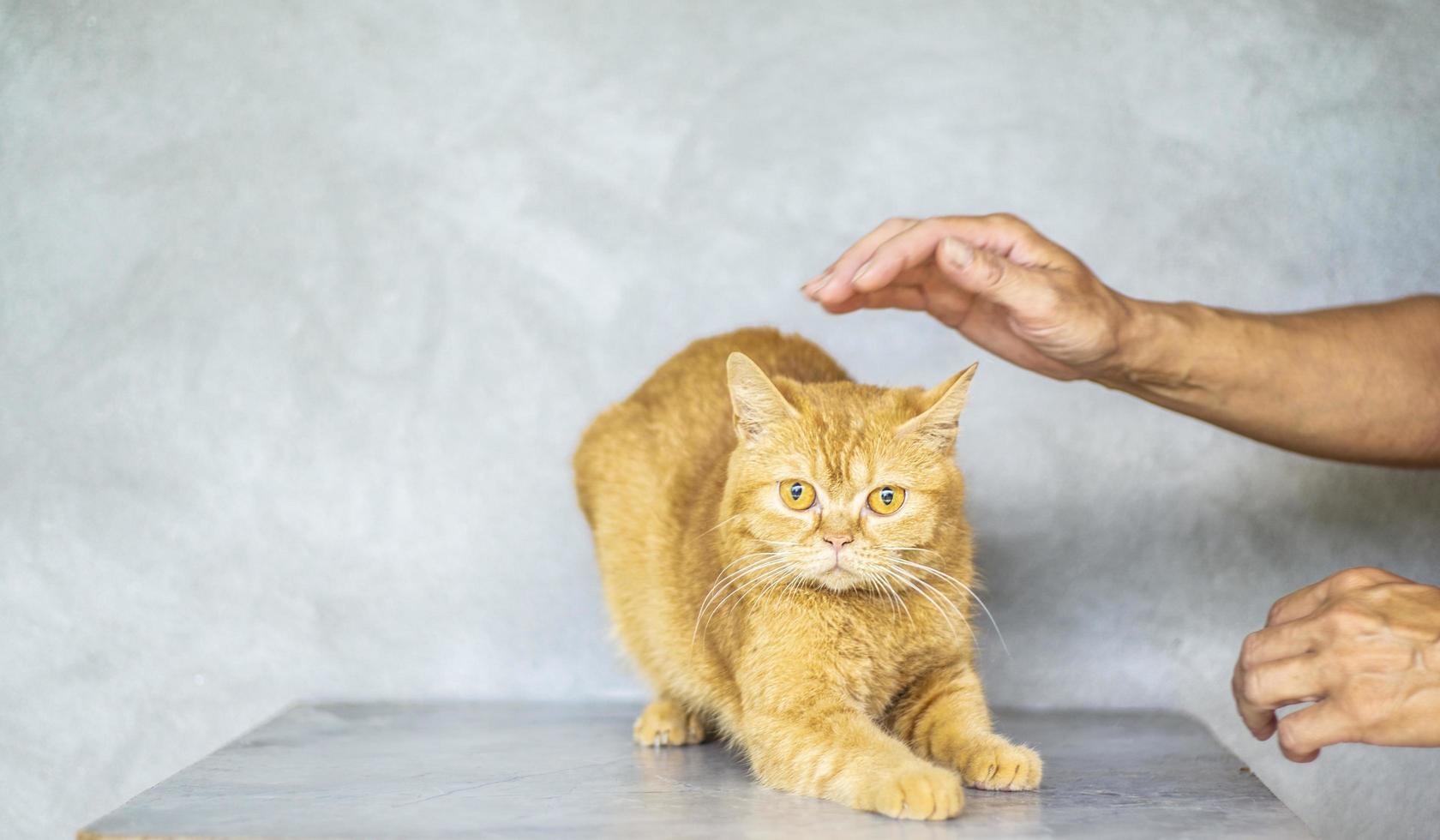 foto del gatto soriano marrone