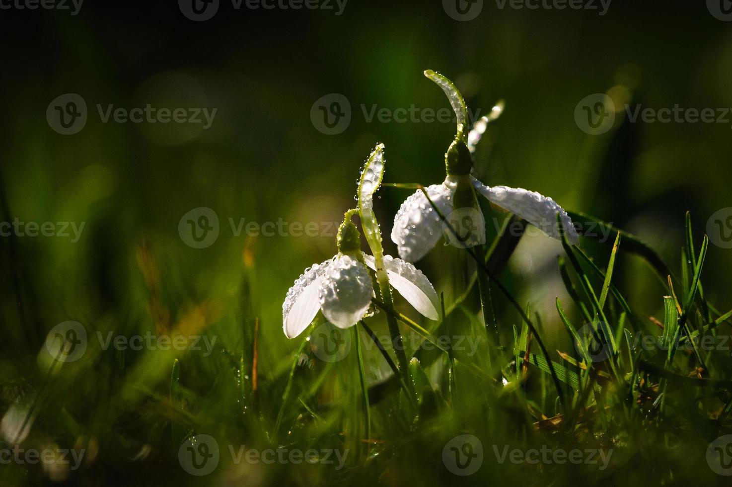 bucaneve fiore in fiore foto