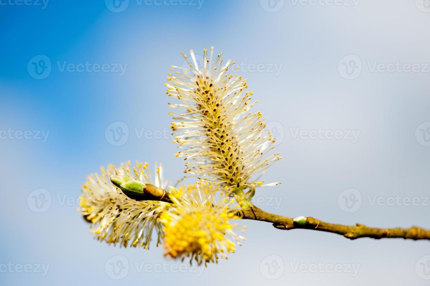 rami di salice figa soleggiata foto