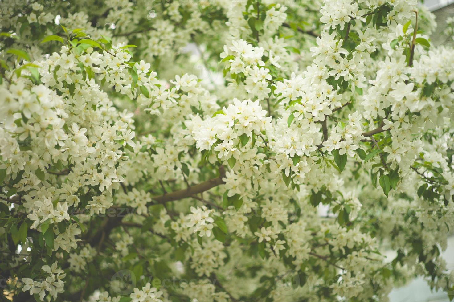brunch sull'albero con fiori primaverili bianchi foto