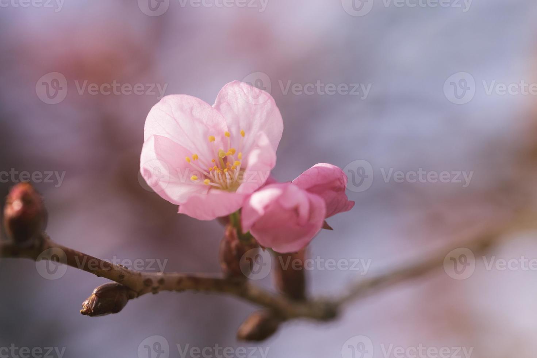 fiore sul primo piano dell'albero di sakura foto