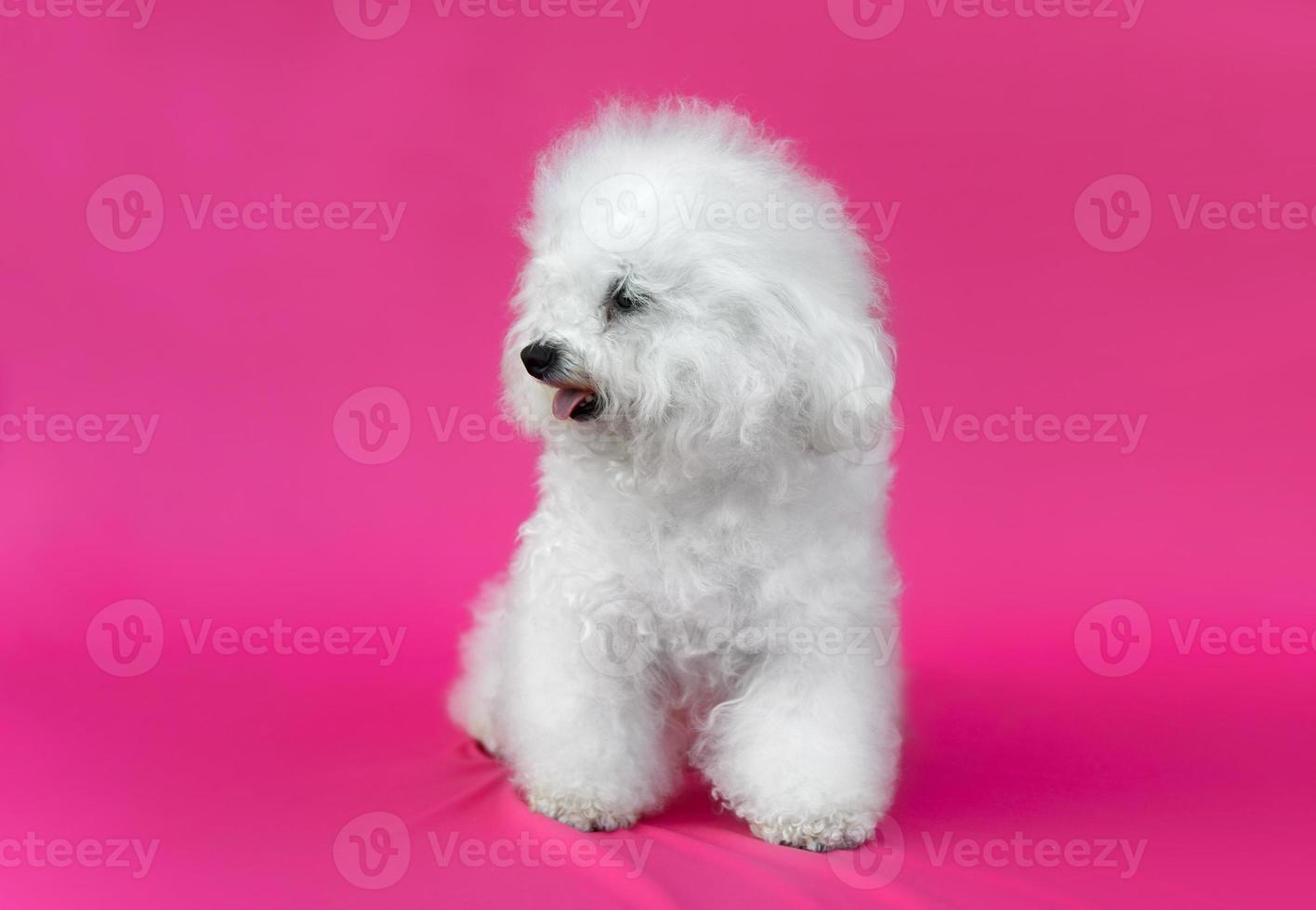 giovane cane bichon frise foto