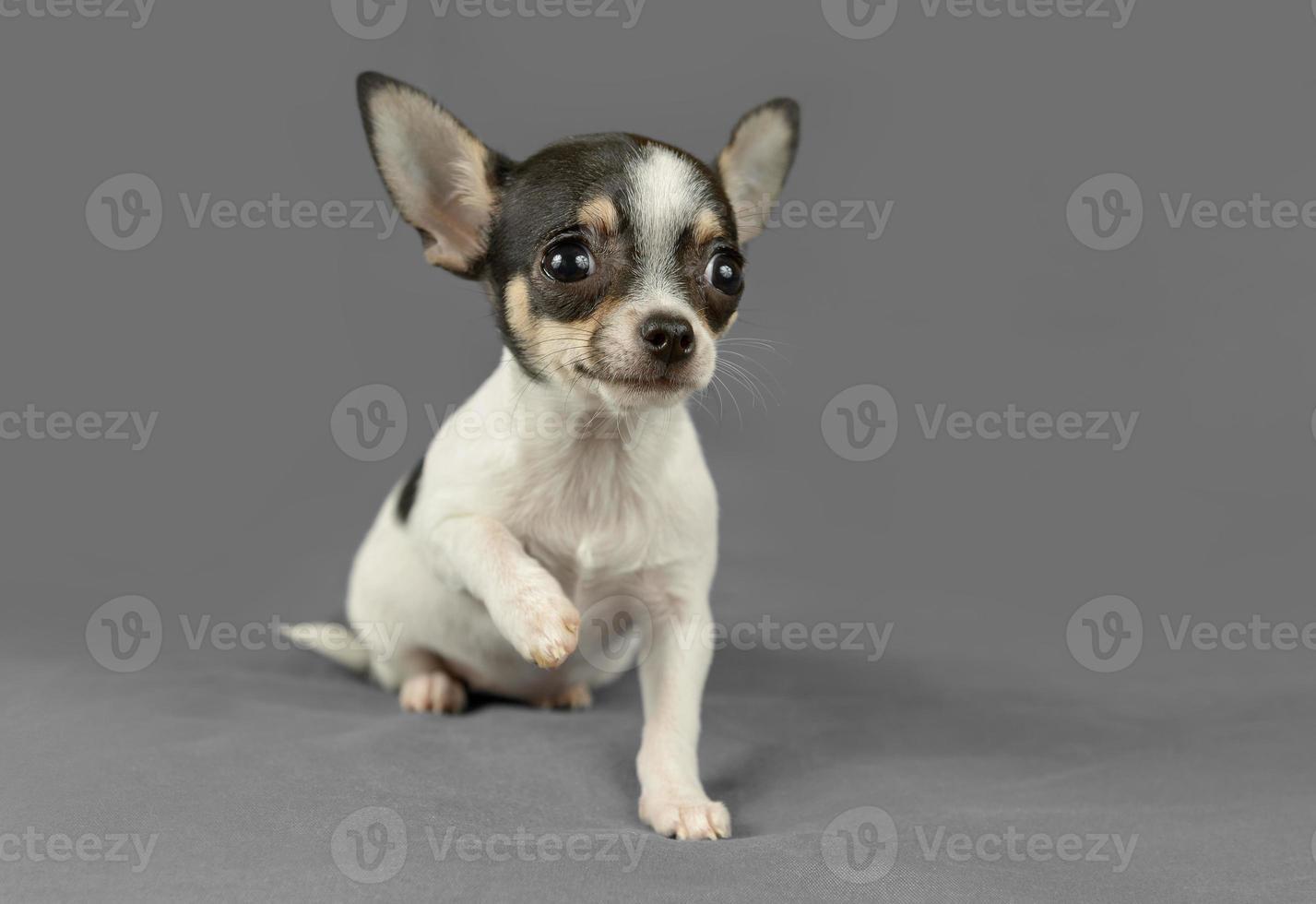 cucciolo di chihuahua di razza pura carino foto