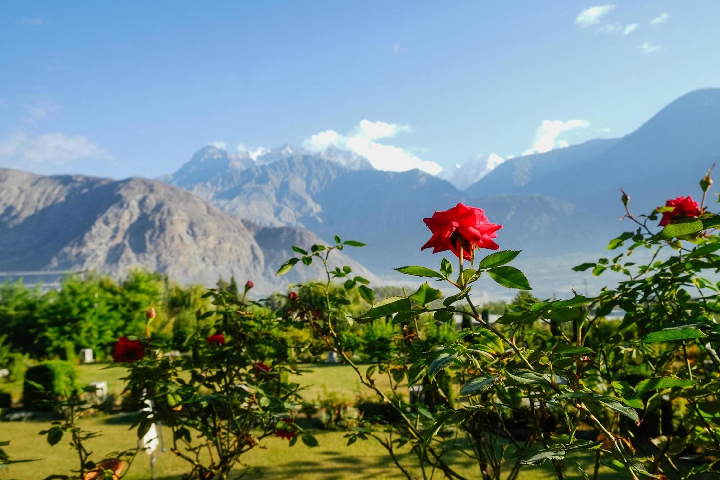 rose rosse in fiore foto