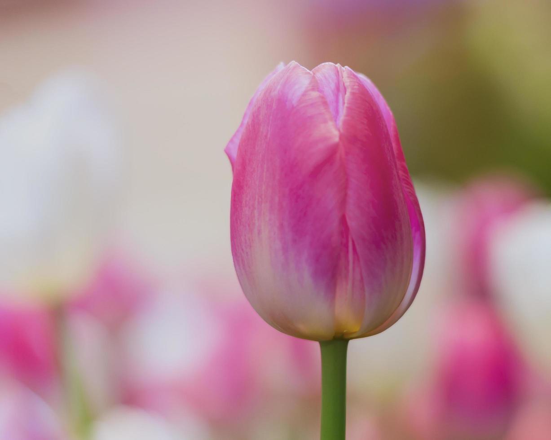 primo piano di un tulipano rosa foto