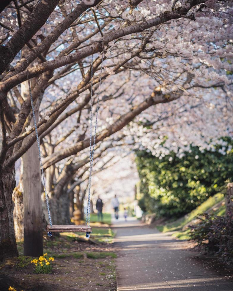 alberi di ciliegio in fiore foto