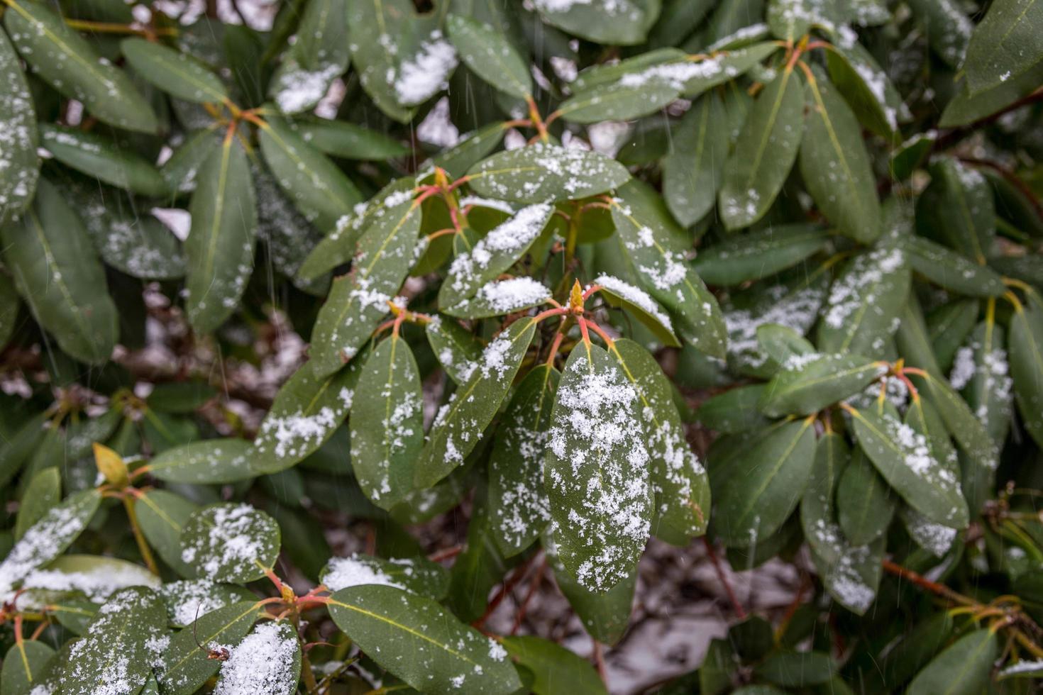 primo piano di neve sulle foglie foto