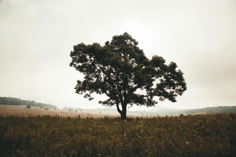 albero verde solista sotto il cielo bianco foto