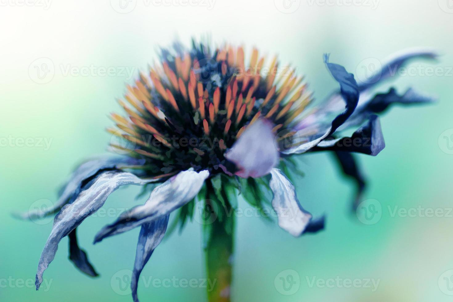 fiore secco di echinacea, pittura ad olio effetto artistico foto