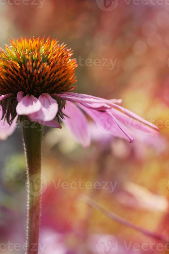 composizione del fiore di echinacea, effetto artistico, luce bokeh foto