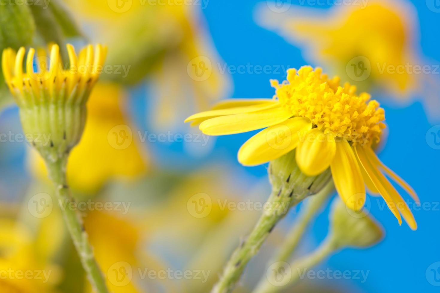 fiori gialli su sfondo blu brillante foto
