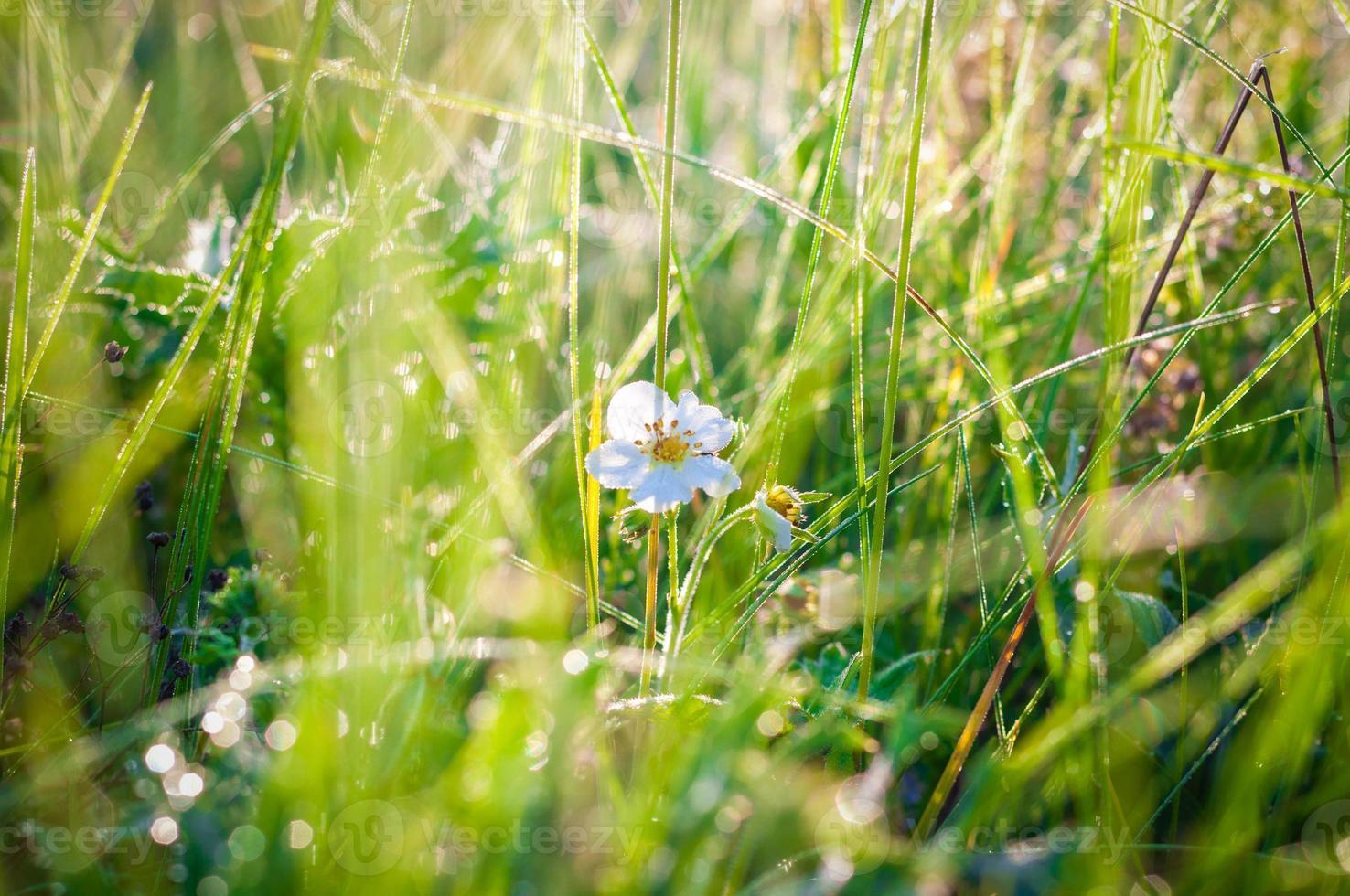 rugiada sull'erba foto
