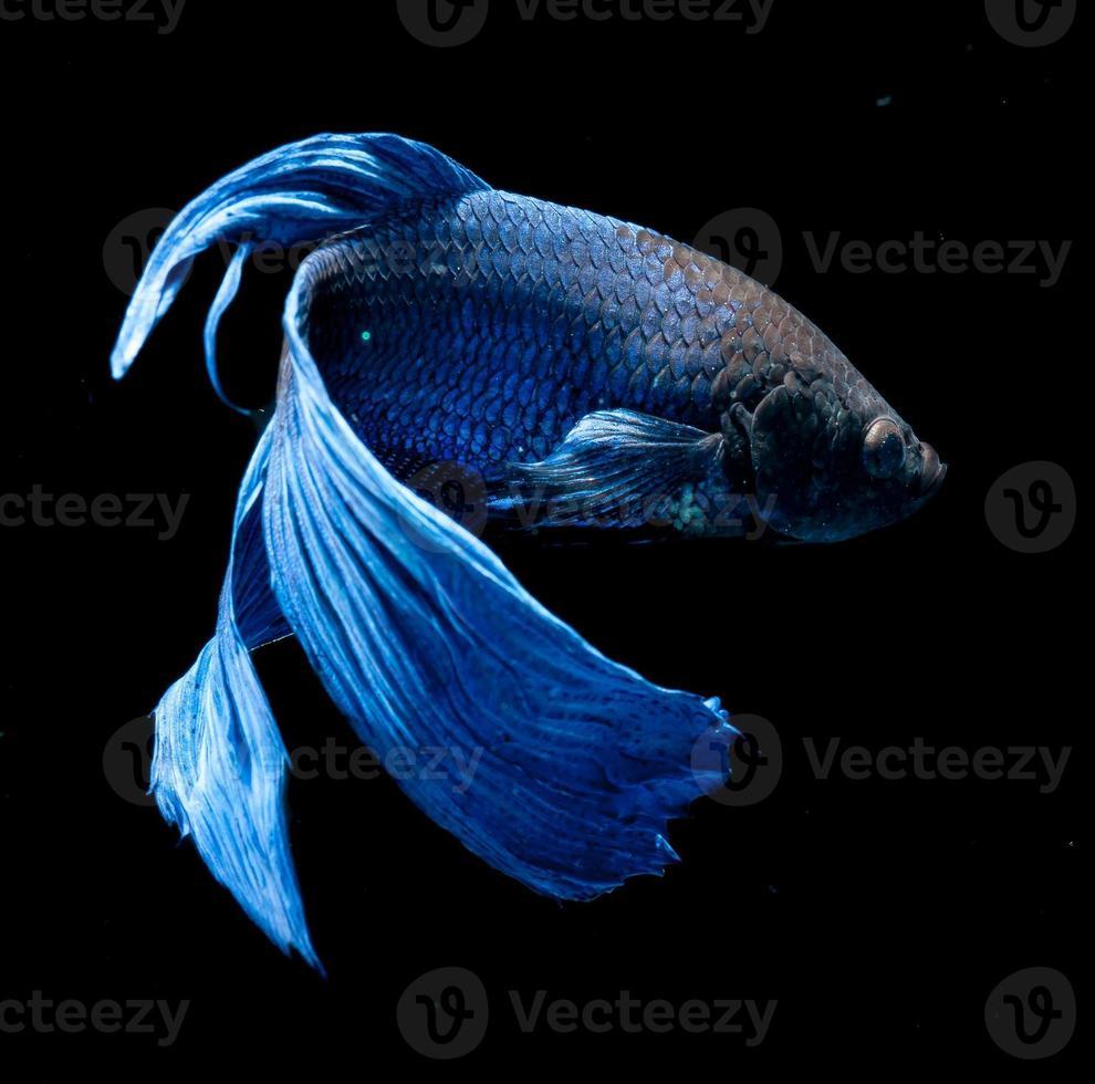 betta pesce su sfondo nero foto