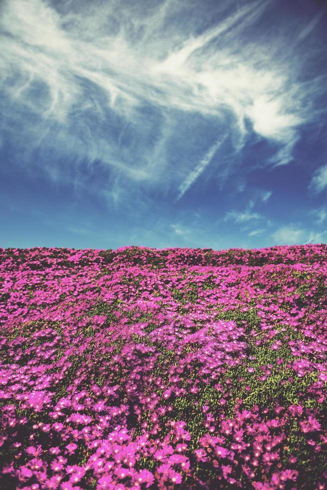 campo di fiori rosa sotto il cielo blu foto