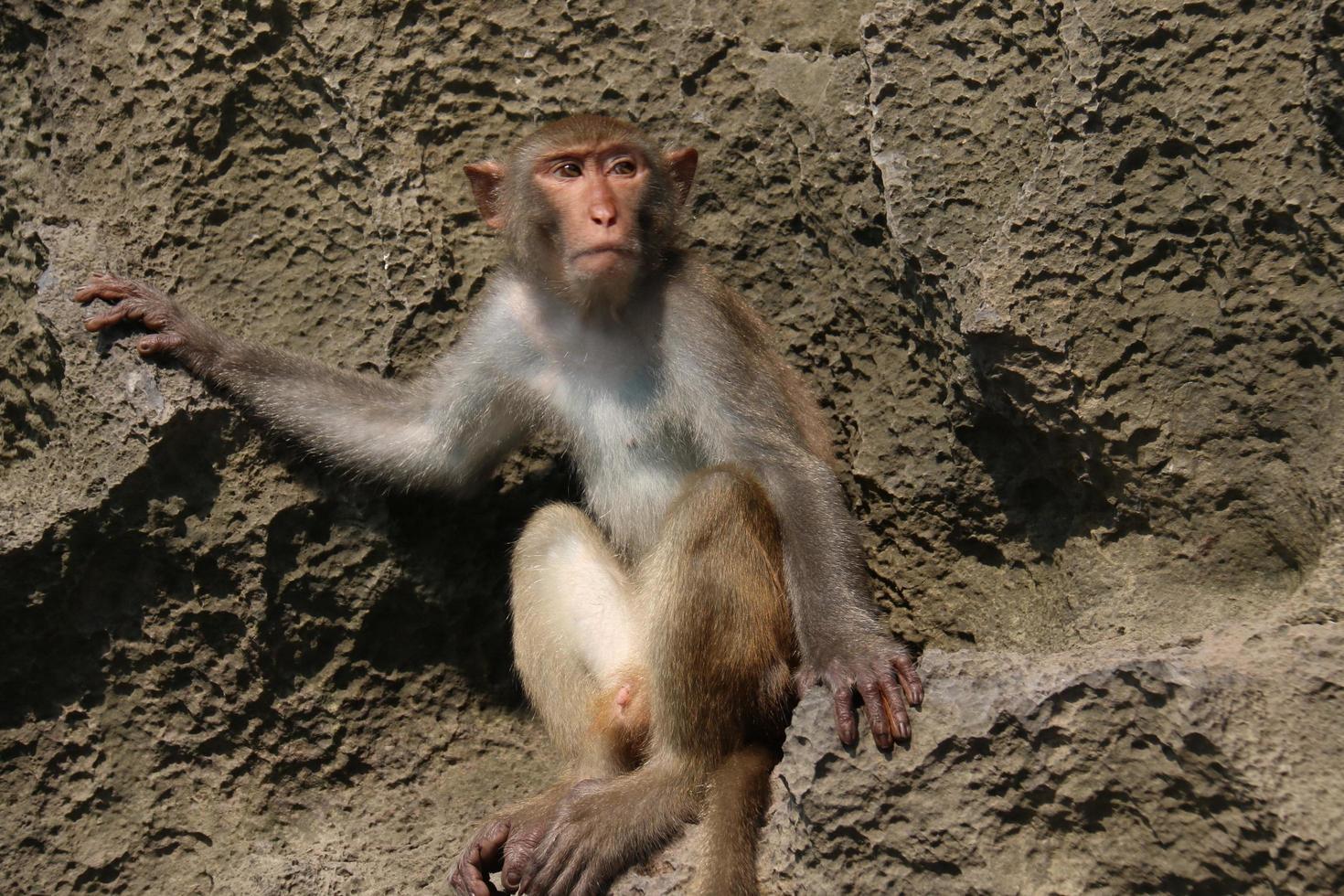 primo piano di una scimmia sulle rocce foto