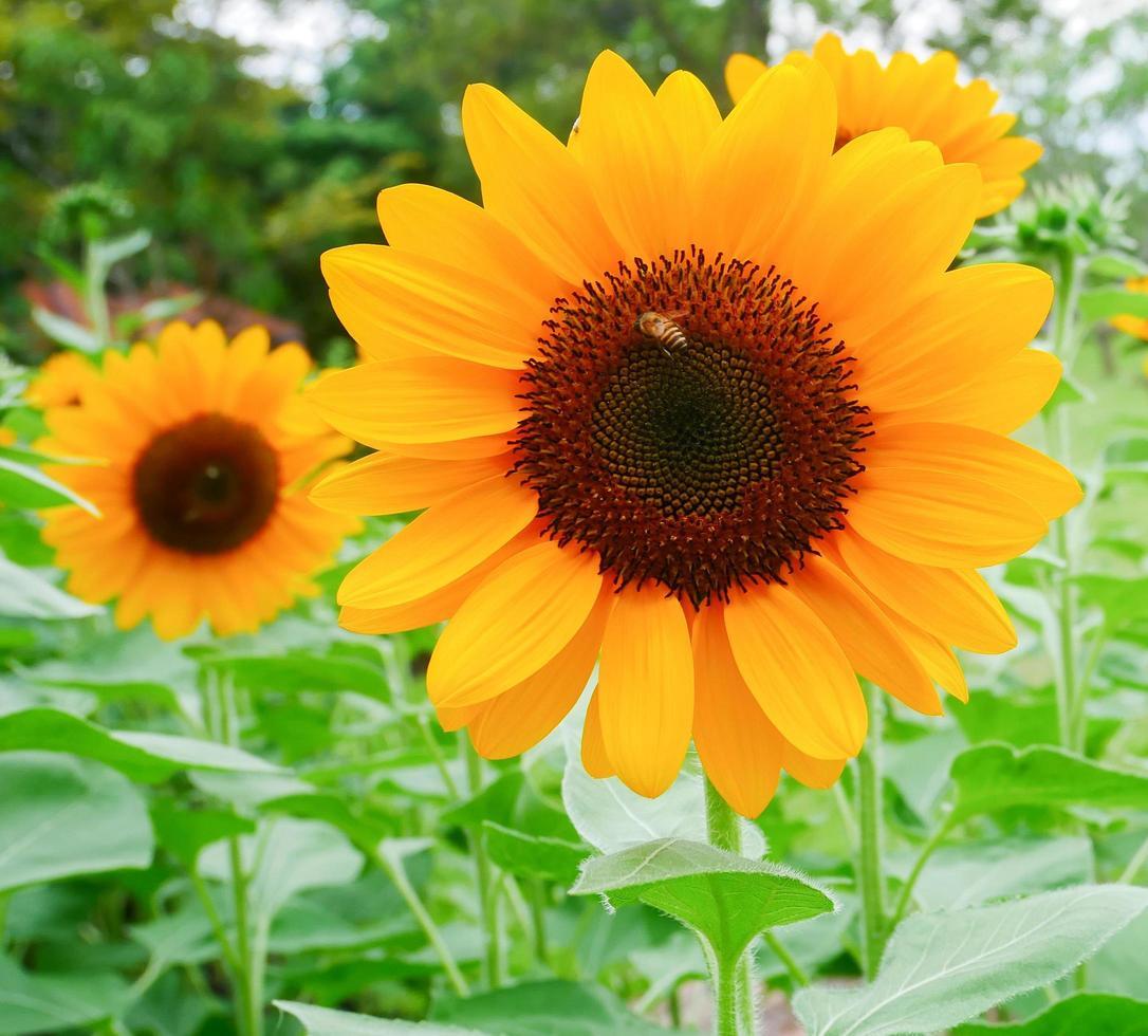 girasoli in fiore in un giardino foto