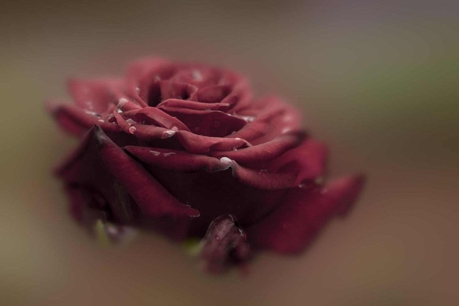 rosa rosso intenso foto