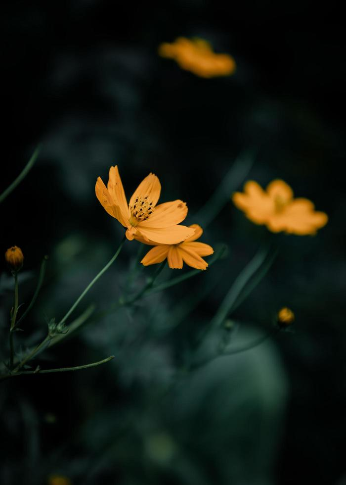 fiori d'arancio di notte foto