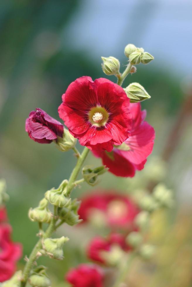 fiore di malva rosso intenso da vicino foto