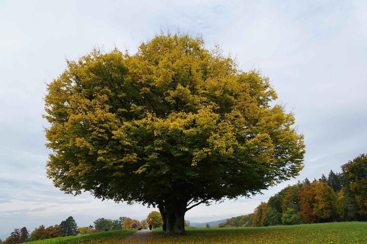 albero in un parco a Zollikon foto