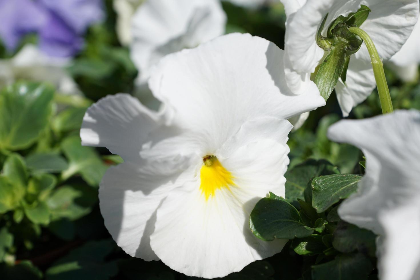 fiore bianco nel parco foto