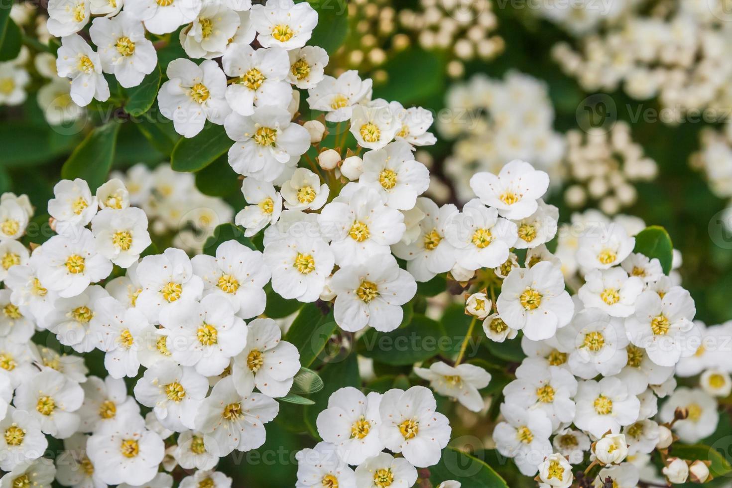 biancospino in fiore foto