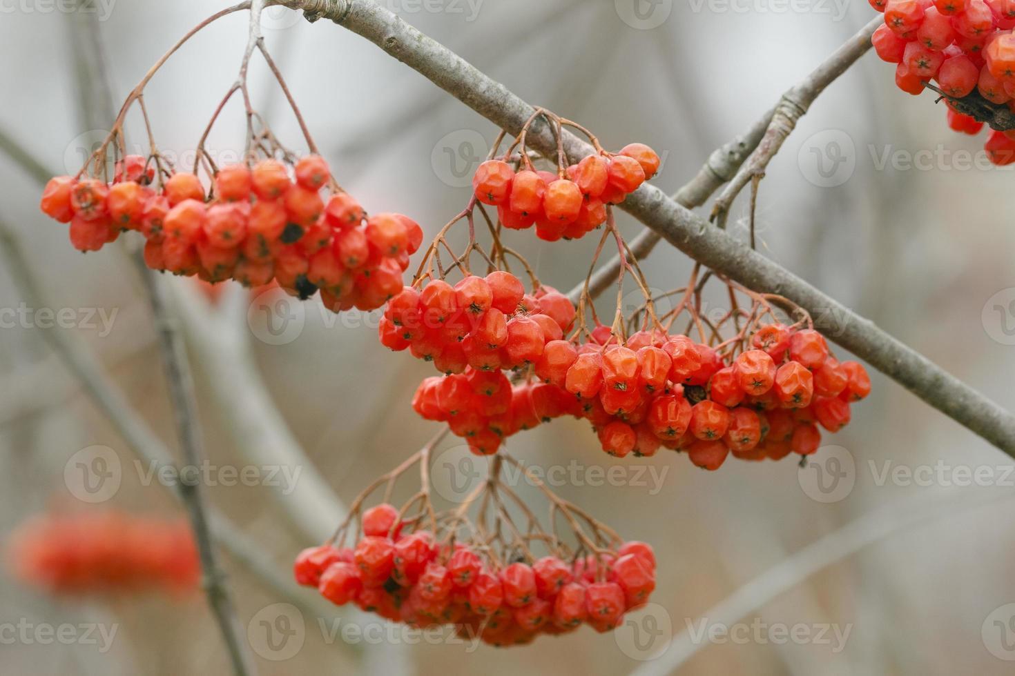 bacche rosse mature di cenere di montagna foto