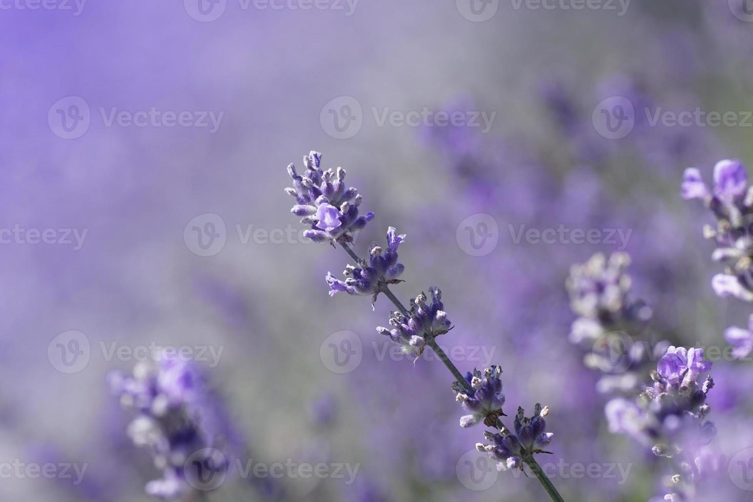 primo piano di fiori di lavanda in una giornata estiva foto