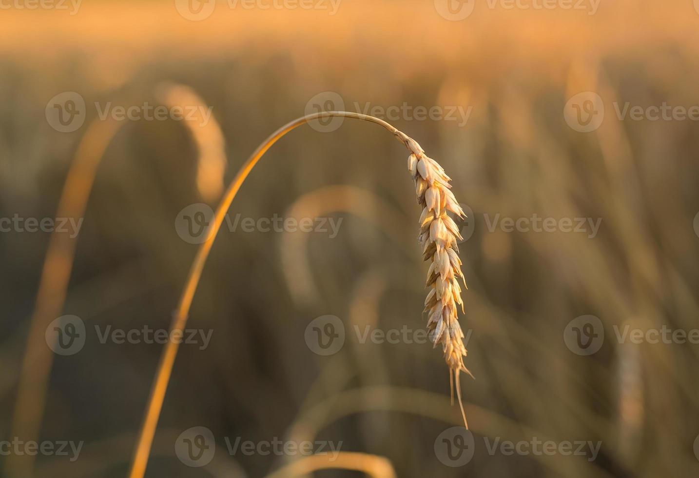 spighe d'oro sotto il cielo foto