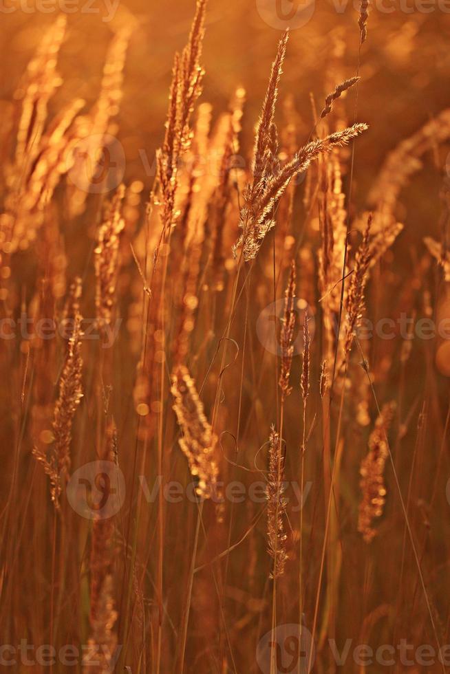 sfondo del campo di erba bagliore tramonto estivo foto