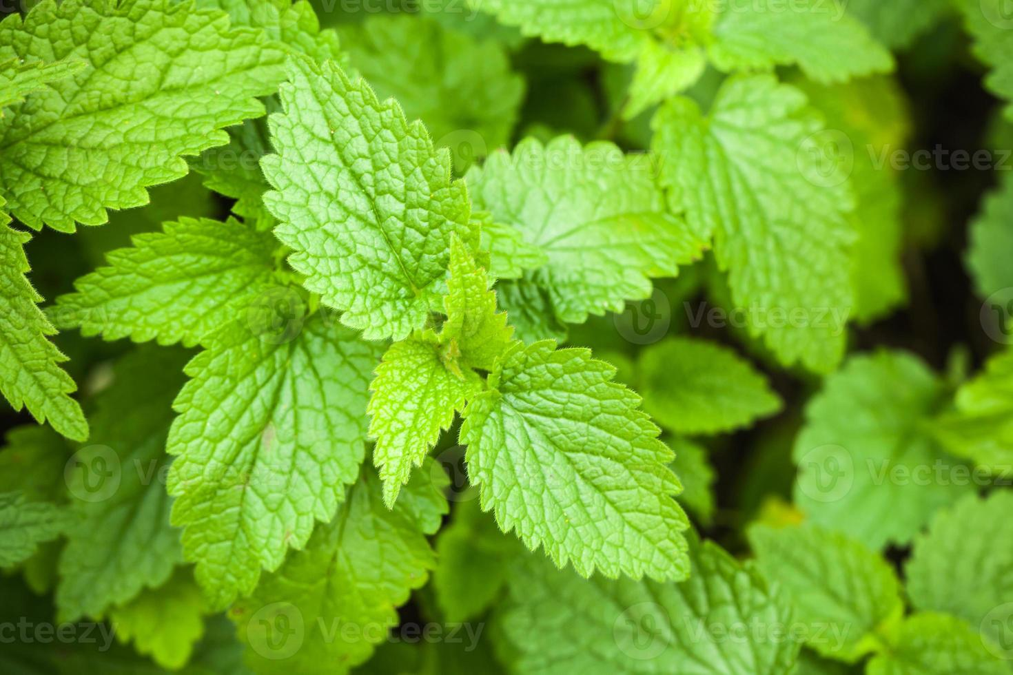 foto macro di foglie di ortica verde
