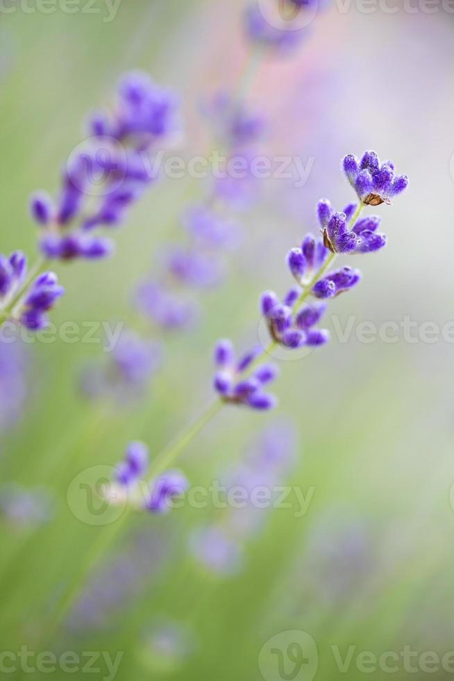 fiori di lavanda (lavandula angustifolia), dof poco profondo foto