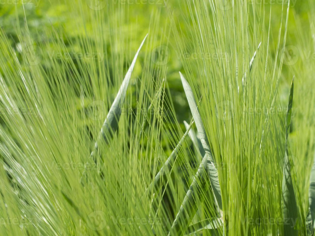 fili d'erba foto