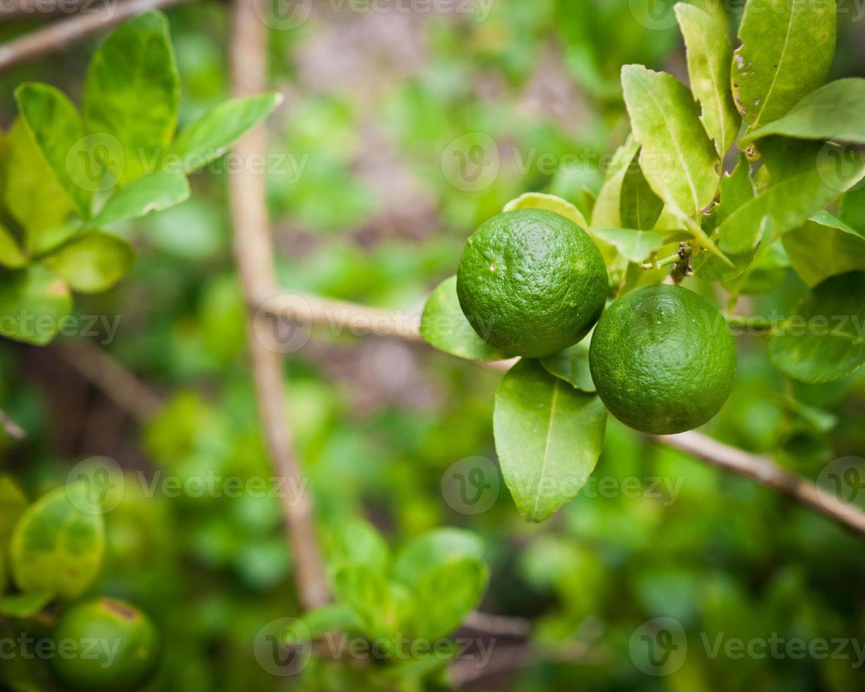limone frutta su albero in giardino foto