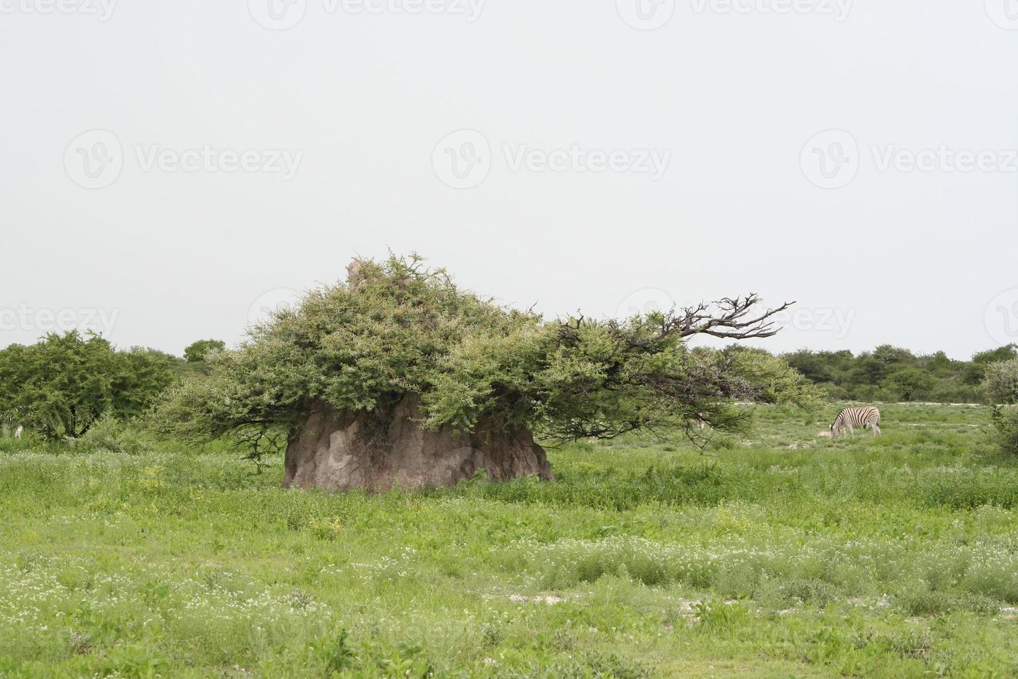 termite nella savana verde, stagione delle piogge, crepuscolo, etosha, namibia foto