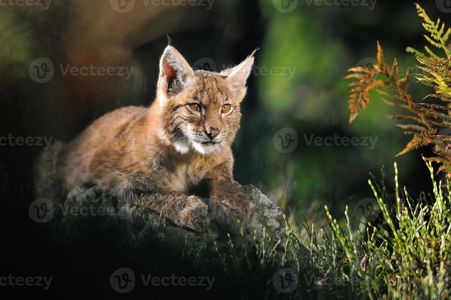 lince eurasiatica nella foresta foto