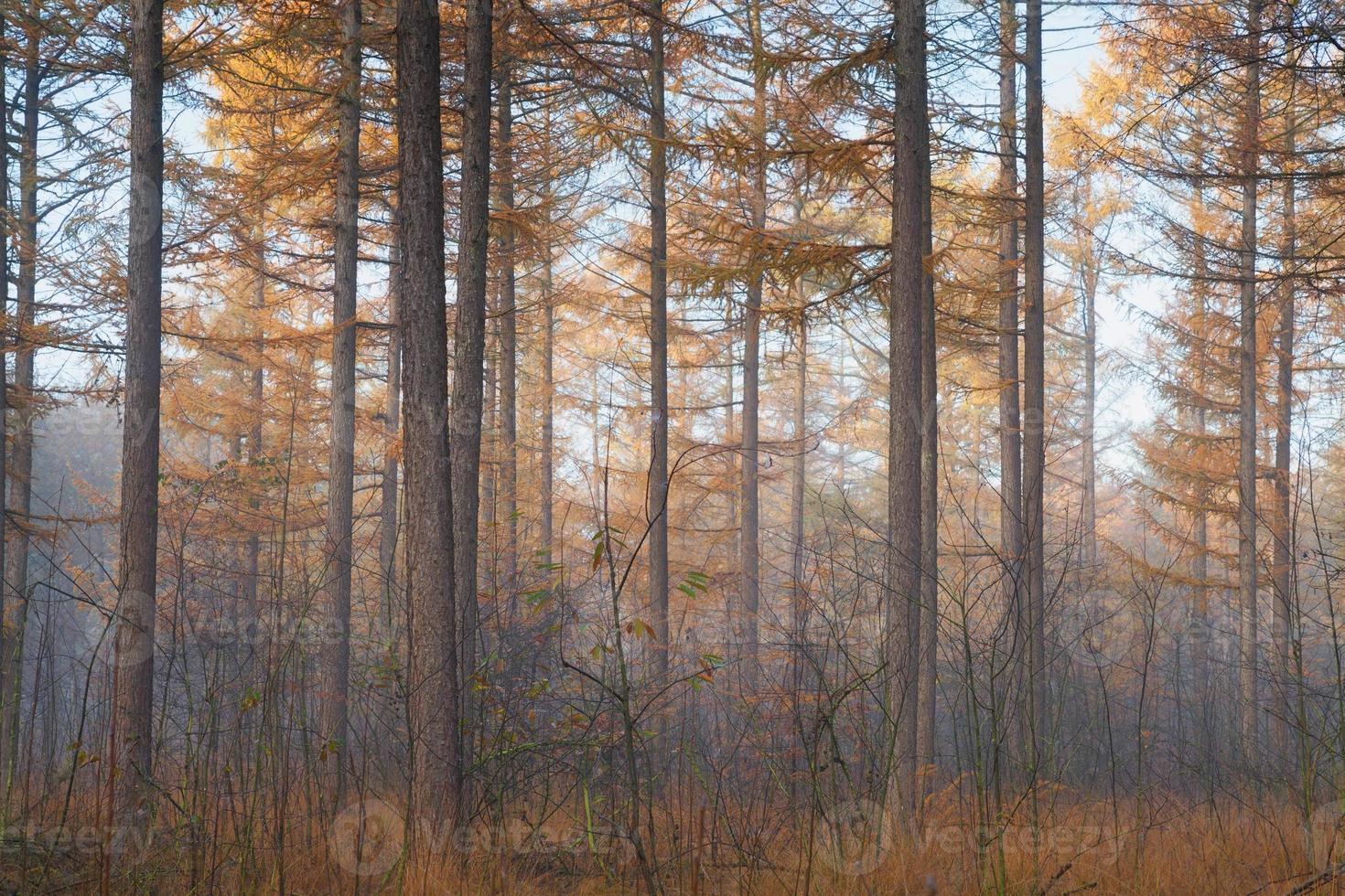 bosco di larici in autunno foto
